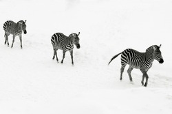 Group of zebras follow the leader in the snow ; zebra in winter