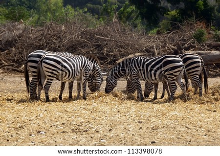 group of zebras grazing in a safari