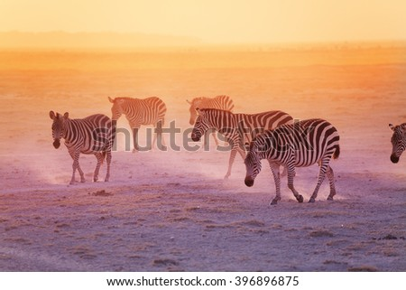 Group of zebras in the Amboseli National Park #396896875