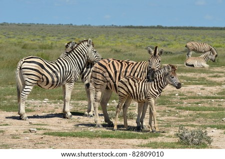 group of zebras with young one in Etosha park in Namibia