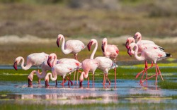 group or flock of Greater Flamingo (Phoenicopterus roseus) wild birds feeding and wading in the shallows of the lagoon water at West Coast national park in Western Cape, South Africa
