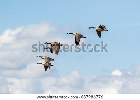 Group or gaggle of Canada Geese (Branta canadensis) flying, in flight against fluffy white clouds