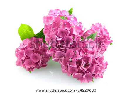 Group pink hortensia isolated on white background