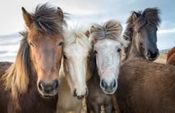 Group portrait of Icelandic horses