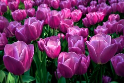 Group purple tulips. Spring landscape.