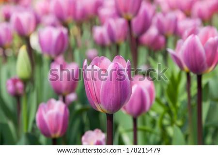 Group purple tulipsin the park. Spring landscape.