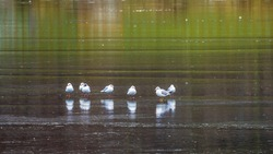 Group seagulls standing on ice of frozen lake, green reflections of plants on ice