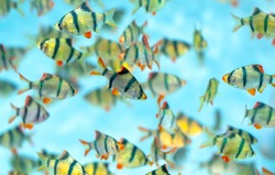 Group tiger barb or sumatra barb Puntius tetrazona fish in the aquarium. This is a species of ornamental fish used to decorate in the house