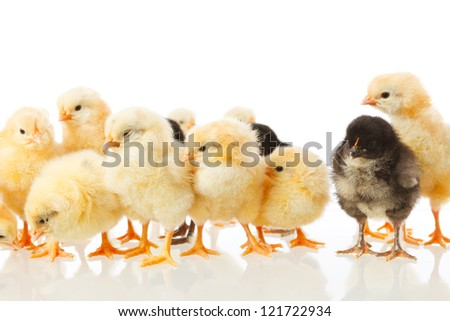 group yellow and black baby chicken on white background