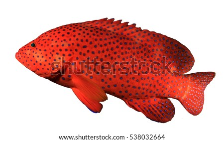 Stock Photo Grouper fish isolated on white background. Coral Grouper or Hind fish
