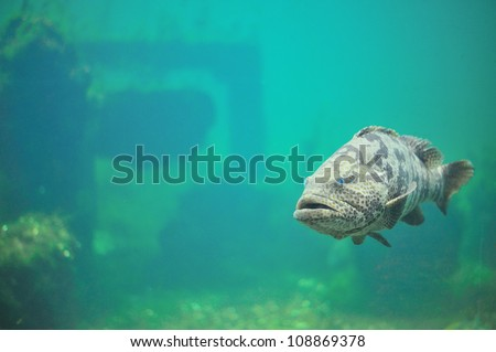 Grouper in aquarium.