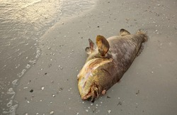 Grouper overcome by red tide washes ashore on Fort Myers Beach.  Red tides are estimated to cause more than $20 million in tourism-related losses in Florida each year.