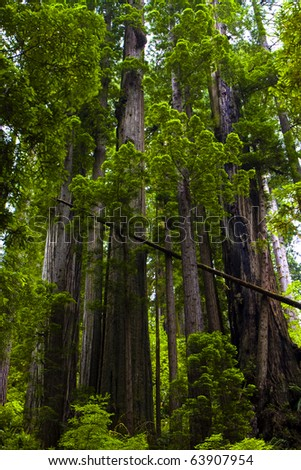 Grouping of tall redwoods