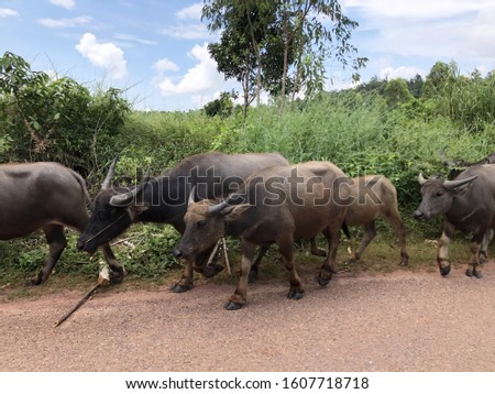groups of animal in nature. group of buffalo with different sizes and ages, un a row.