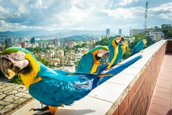 Groups of blue, yellow and green macaws on row with Caracas city at the back