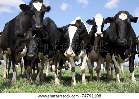 Groups of curious cows coming in for a close-up.