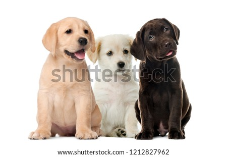 Photo of  Groups of dogs, Labrador puppies, Puppy chocolate Labrador Retriever, in front of white background