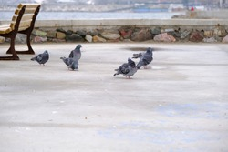 Groups of doves and pigeons standing near wooden street bench. Birds and sea background during overcast and rainy day.