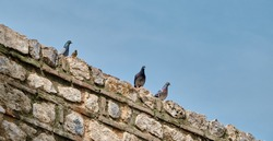 Groups of pigeon and birds standing on old and ancient wall made of red bricks in iznik city walls established by byzantine time and period