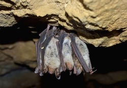 Groups of sleeping bats in cave -  Lesser mouse-eared bat (Myotis blythii)