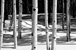 Grove of Aspen trees in winter snow