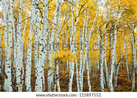 Grove of Aspens in the Fall with Yellow Background
