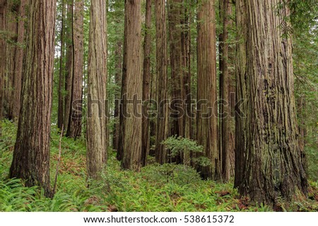Grove of coast redwoods (Sequoia sempervirens) that grow in coastal Oregon and California. These evergreen conifers are the tallest on earth.