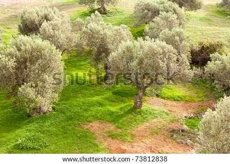 Grove of olive trees (Olea europaea) with dense cover of sweet clover (Melilotus) on the ground.