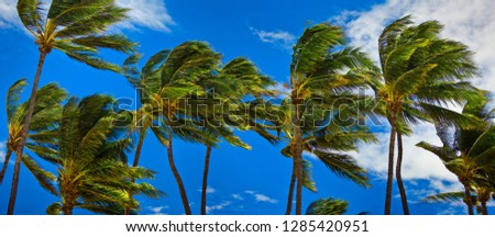 Grove of palm trees on a windy day.