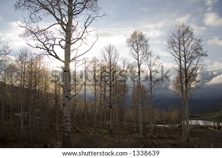 Grove of Quaking Aspen trees in mountains near Heber City, Utah in the early Spring