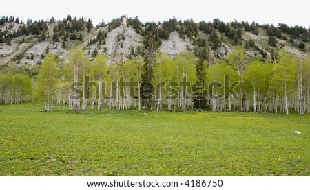 Grove of Quaking Aspens trees high in the mountains of Utah - stock photo