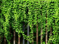 grow of green ivy plant on wood fence in garden