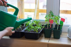 Growing and watering tomato seedlings plants in plastic pots with soil on balcony window sill with tags labels. Urban home balcony gardening, growing vegetables concept