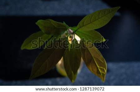 Growing avocado plant in water in a contrasty environment   #1287139072