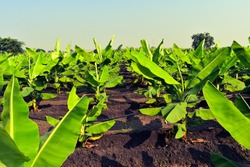 Growing Banana (musa) crop at morning. Beautiful agricultural background. Banana plantation. Planting at field of India. Use of drip irrigation system in agriculture. organic farming or field.