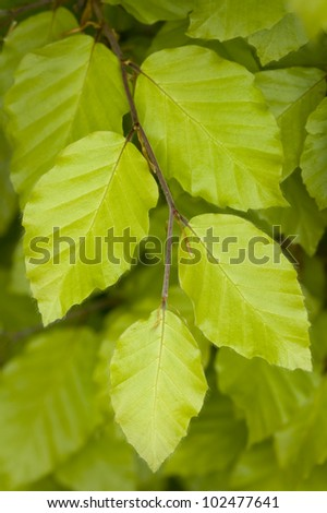 growing beech leaves in springtime close up