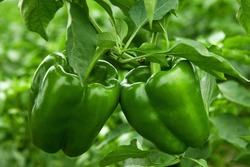 growing bell pepper in a farmer's field
