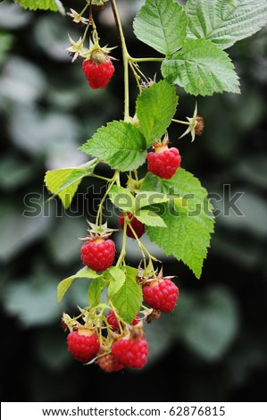 Growing branch of red raspberry