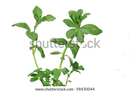 growing broad bean on white background