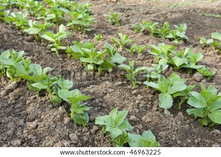 Growing broad beans in the vegetable garden