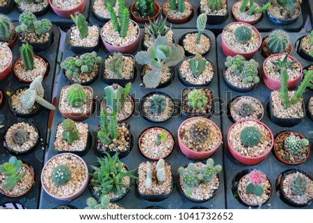 Growing cactus in greenhouse.