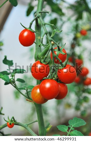 growing cherry tomatoes