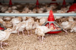 growing conditions of turkey on a poultry farm in a barn with sawdust and lamps