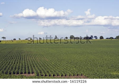 Growing Corn Field - Indiana, USA