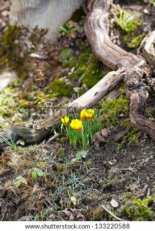 growing crocus flowers