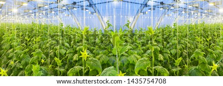 Growing cucumbers in a big greenhouse Stock photo ©