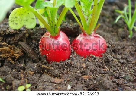 Growing fresh red radish on garden bed