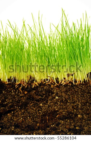 Growing grass with roots in earth in close-up - stock photo
