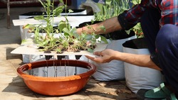 Growing green leafy vegetables in the backyard and terrace garden by using Hydroponics technique. Growing veggies in water without soil and fertilizers.