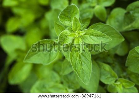 growing herbs. mint